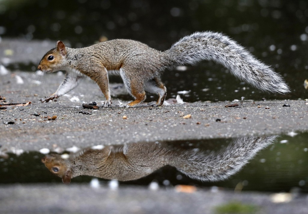 In this Tuesday, Sept. 11, 2018 photo a squirrel walks between puddles in Portland, Maine. A bumper crop of acorns, pine cones and other staples last