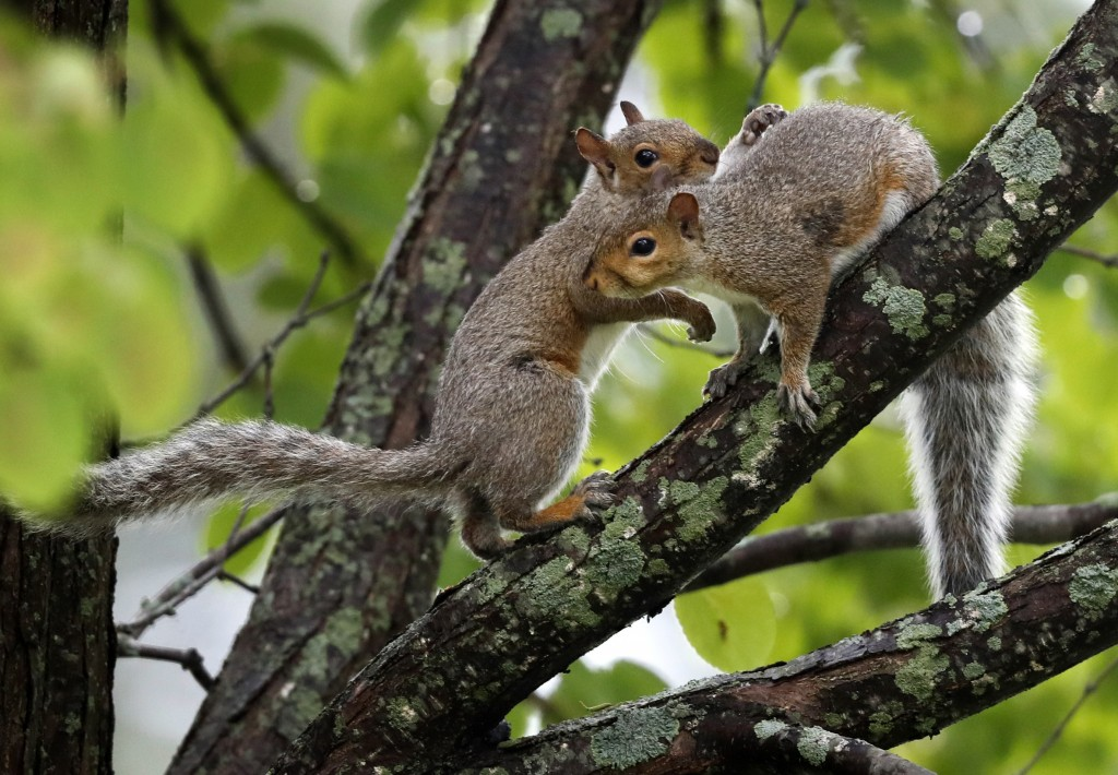 In this Tuesday, Sept. 11, 2018 photo a pair of squirrels frolic in a tree in Portland, Maine. There's a bumper crop of squirrels in New England, and
