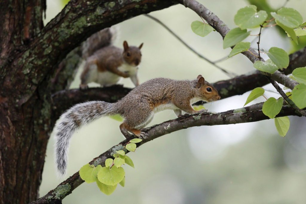 In this Tuesday, Sept. 11, 2018 photo, a pair of squirrels frolic in a tree in Portland, Maine. A population spike has led to an abundance of the furr