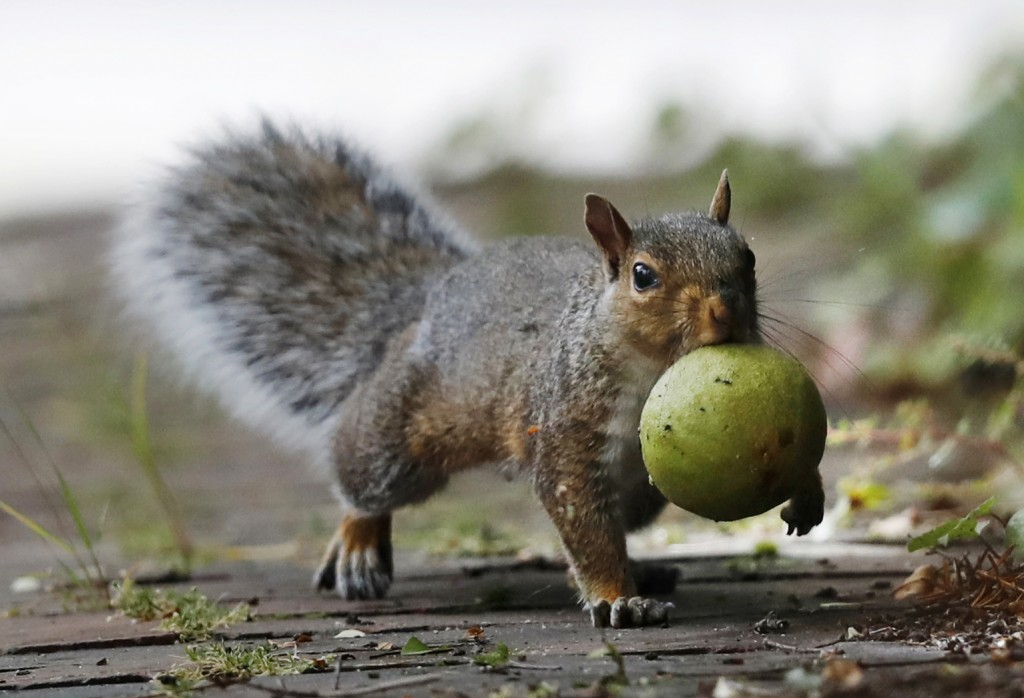 In this Tuesday, Sept. 11, 2018 photo a squirrel carries a walnut in Portland, Maine. A bumper crop of acorns, pine cones and other staples last year