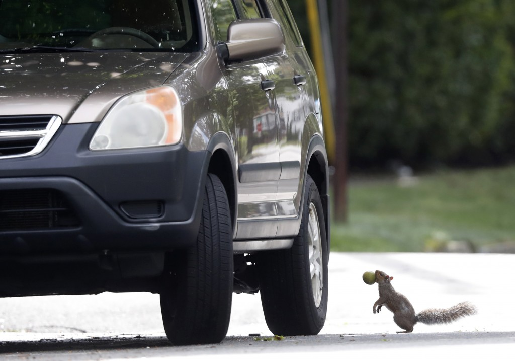 In this Tuesday, Sept. 11, 2018 photo a squirrel pauses before jumping onto a tire of a parked car to eat a walnut in Portland, Maine. A booming squir