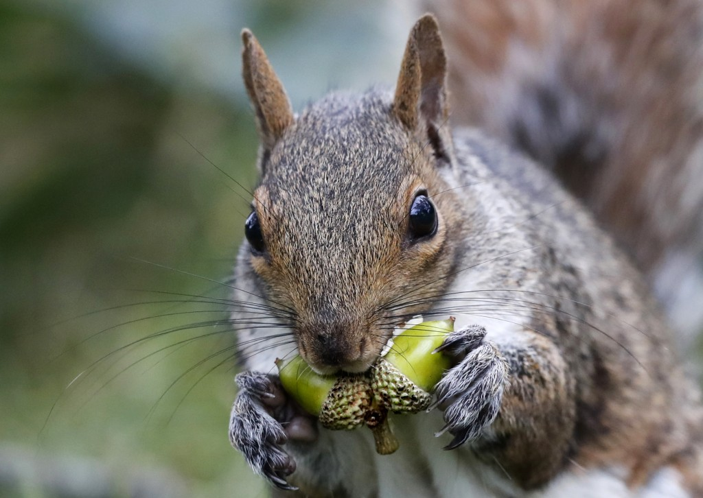 In this Tuesday, Sept. 11, 2018 photo a squirrel chews acorns in Portland, Maine. There's a bumper crop of squirrels in parts of New England, and it's