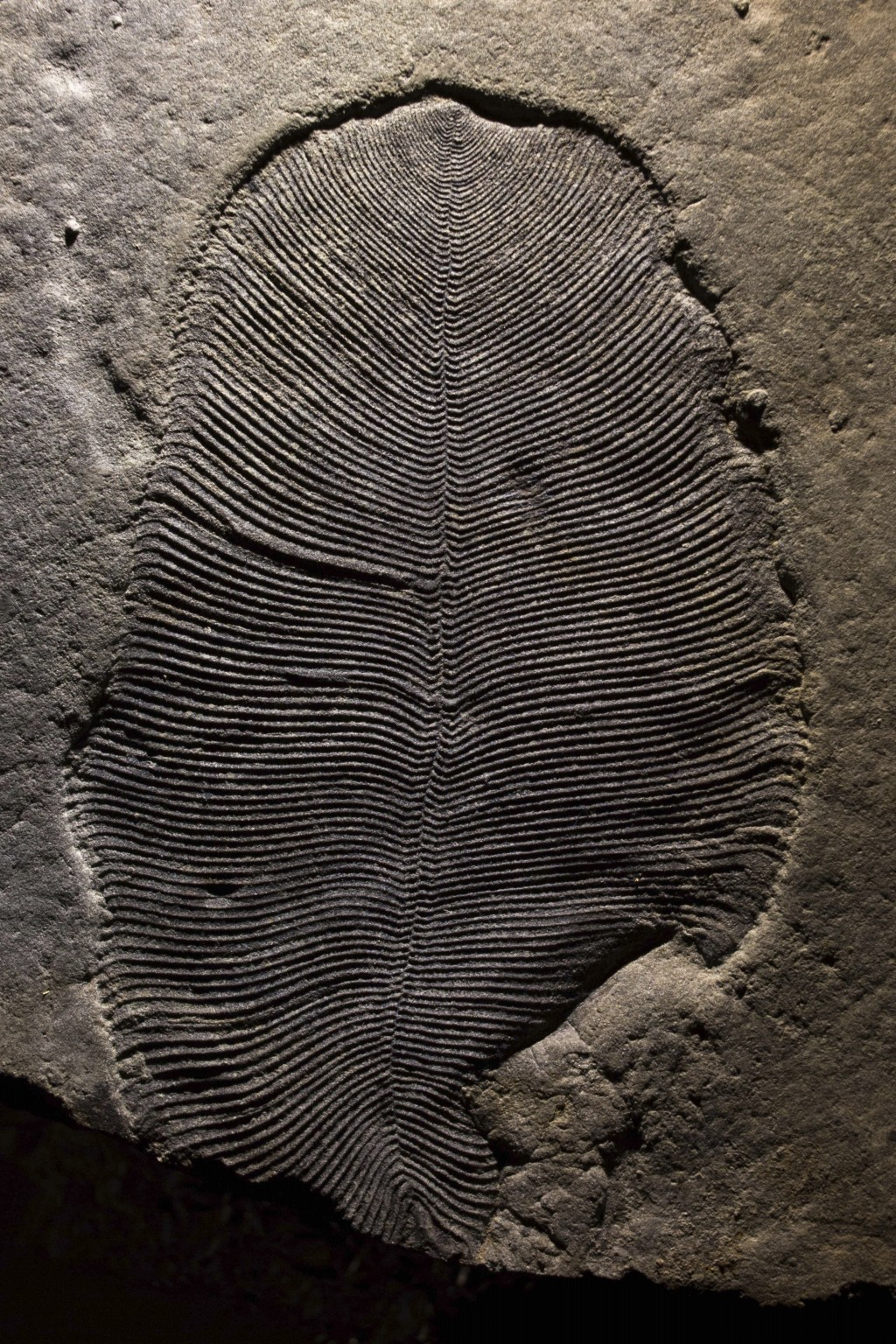 This undated photo provided by Ilya Bobrovskiy in September 2018 shows a Dickinsonia fossil from the White Sea area of Russia. The body is about 9 cen