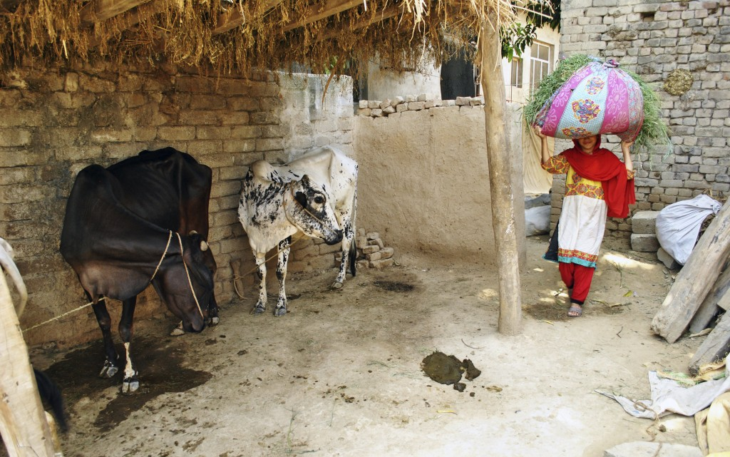 In this Tuesday, June 27, 2018, photo, Ansa Khan carries grass from the family farm, a daily afternoon chore, in Mardan, Pakistan. At the first hint o