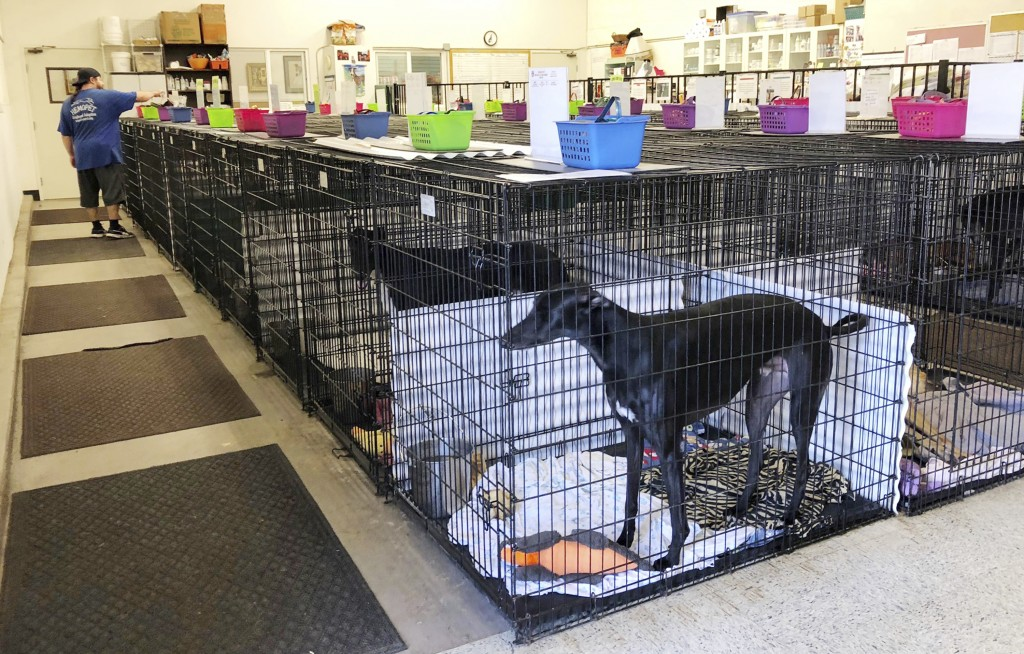 This Wednesday, Oct. 10, 2018, photo shows a greyhound in a crate at Hemopet in Garden Grove, Calif. The nonprofit organization that runs a canine blo
