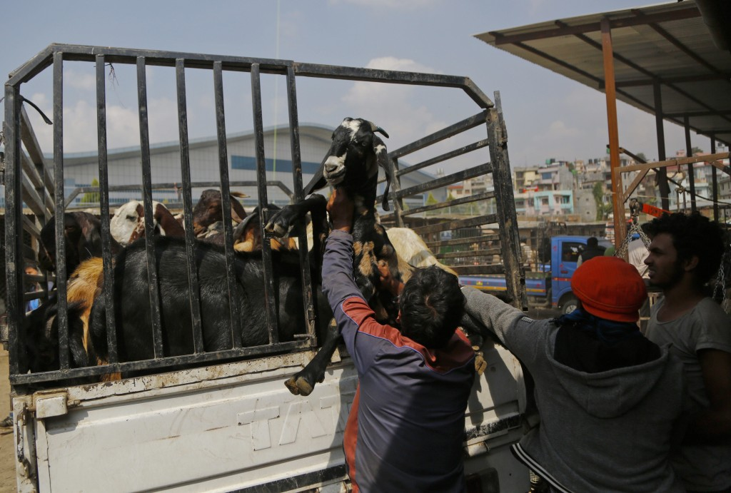 In this Thursday Oct. 11, 2018, Nepalese men load goats onto a truck after purchasing the animals at a livestock market in Kathmandu, Nepal. During th