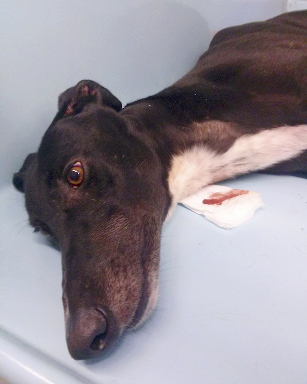 This 2018 photo provided by the animal rights group People for the Ethical Treatment of Animals shows a greyhound after having blood taken at Hemopet