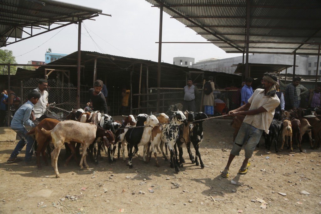 In this Thursday Oct. 11, 2018 photo, a Nepalese man pulls goats at a livestock market in Kathmandu, Nepal. During the 15-day Dasain festival that beg
