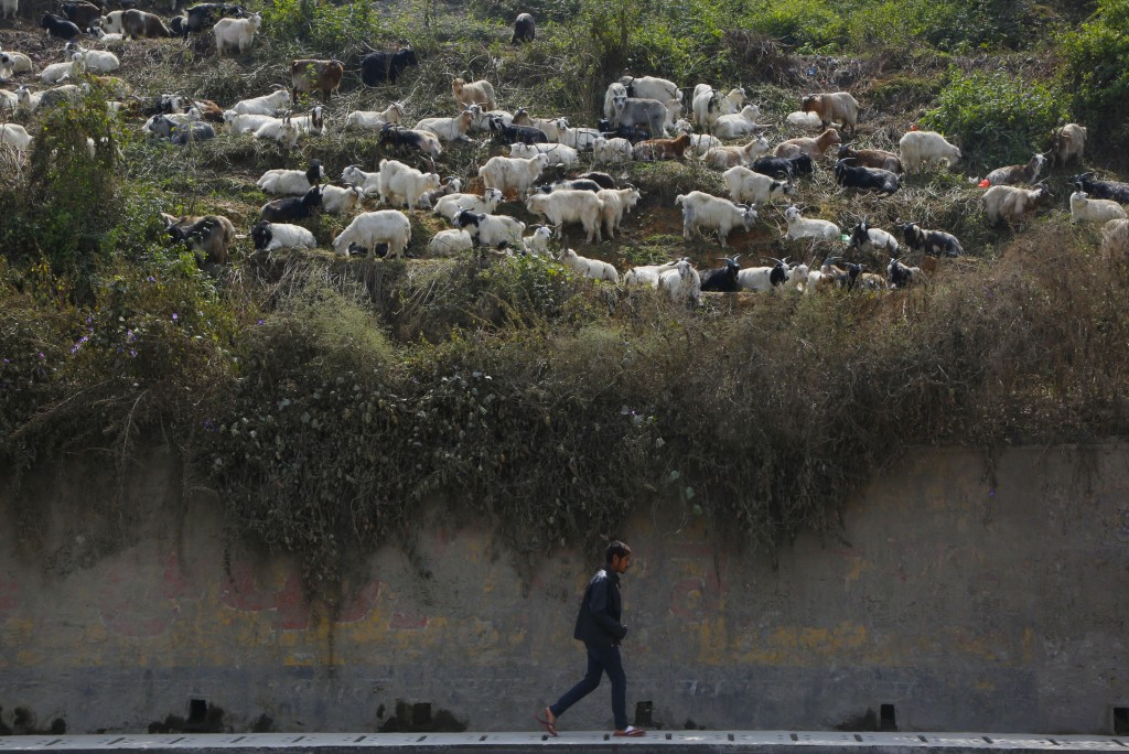 In this Thursday Oct. 11, 2018, a Nepalese man walks on a road as goats for sale graze at a livestock market in Kathmandu, Nepal. During the 15-day Da