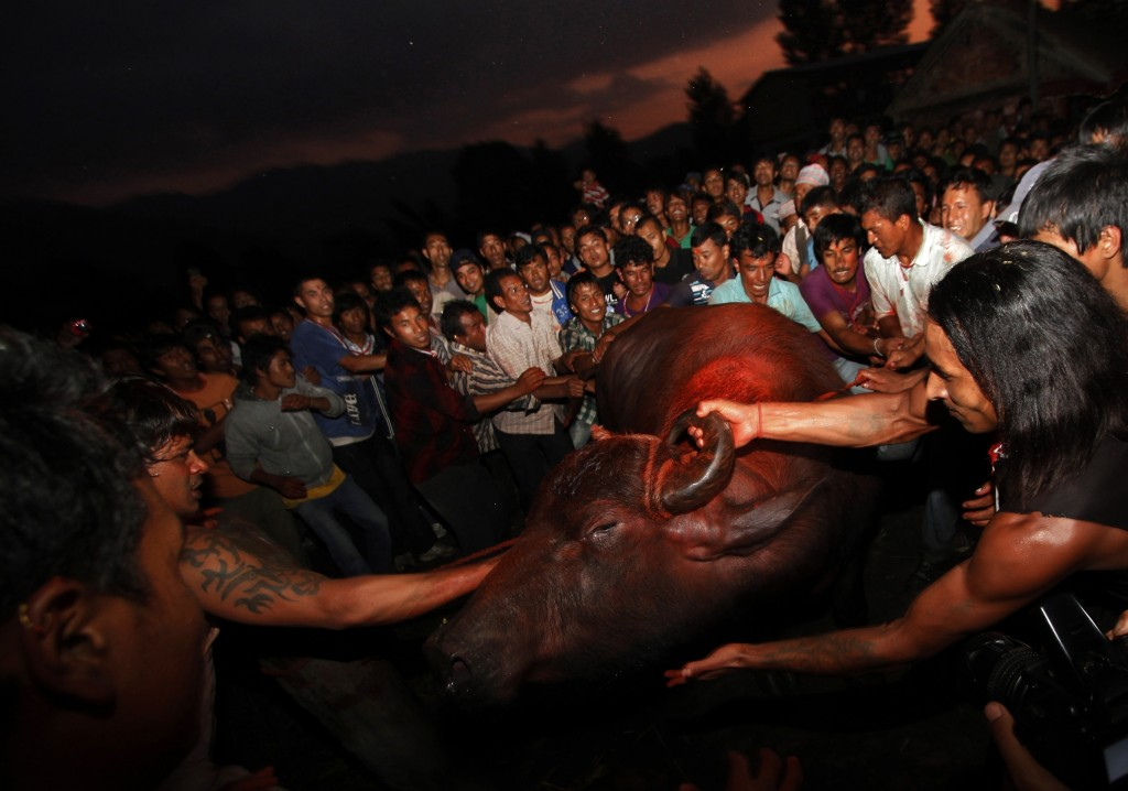 In this Oct. 5, 2011 file photo, Nepalese devotees drag a buffalo for sacrifice during the ninth day of Dasain festival at Bhaktapur, on the outskirts