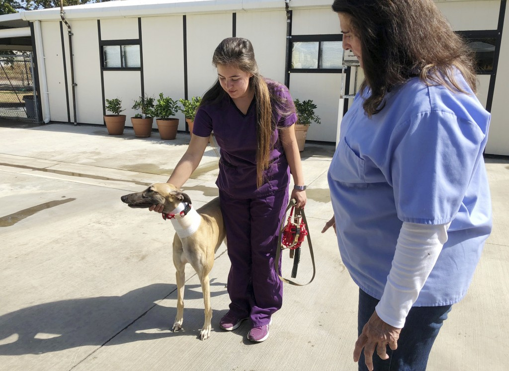 In this Wednesday, Oct. 10, 2018, photo, manager Karen Stalk watches as a worker returns a greyhound after donating blood at Hemopet canine blood bank
