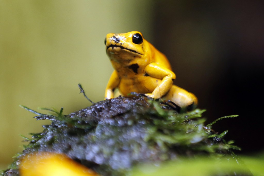 "In this Oct. 4, 2018 photo, a golden poison frog is seen inside terrarium at the Biopark ""La Reserva"" in Cota, Colombia. According to Ivan Lozano the"