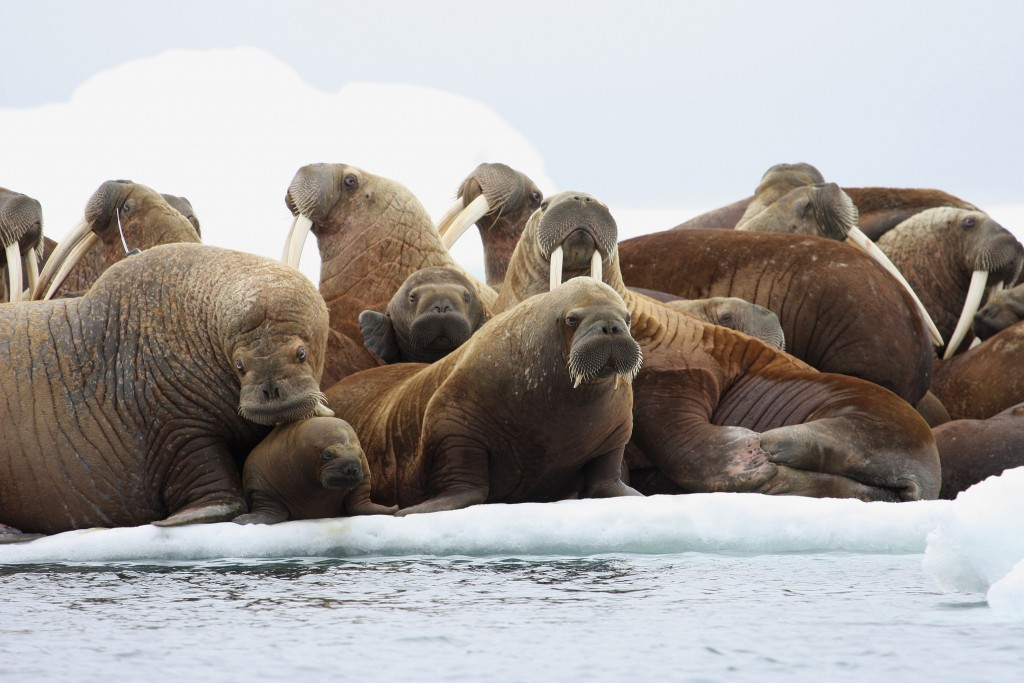 FILE - In this July 17, 2012, file photo, adult female Pacific walruses rest on an ice flow with young walruses in the Eastern Chukchi Sea, Alaska.  A