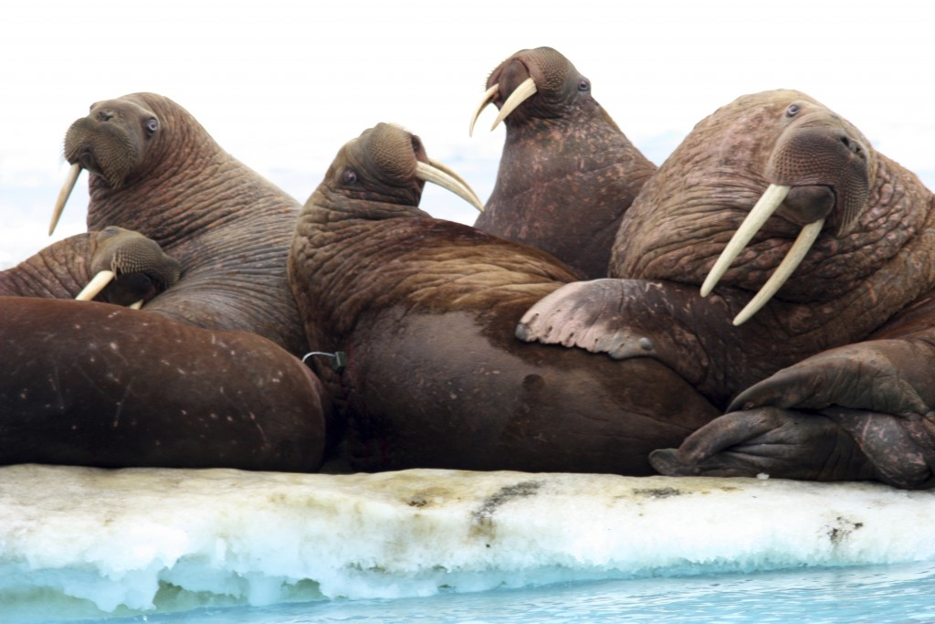 This July 20, 2011, photo provided by the U.S. Geological Survey shows Pacific walruses rest on an ice flow in the Chukchi Sea, Alaska.  A lawsuit mak