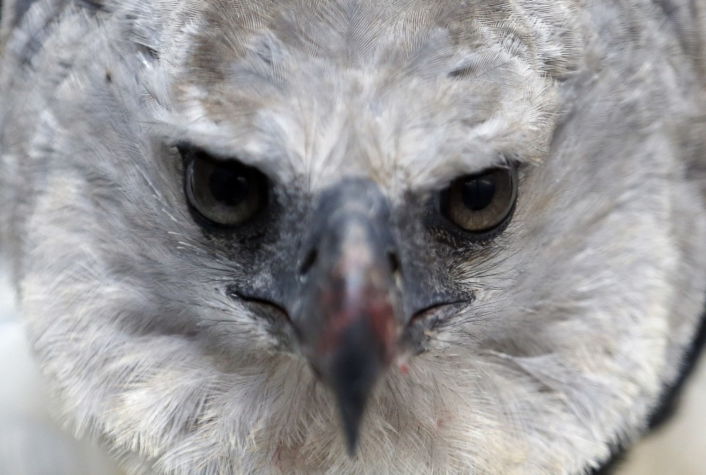 "In this Oct. 4, 2018 photo, a Harpy Eagle gives an intense look at the camera, at its enclosure at the Biopark ""La Reserva"" in Cota, Colombia. The eag"