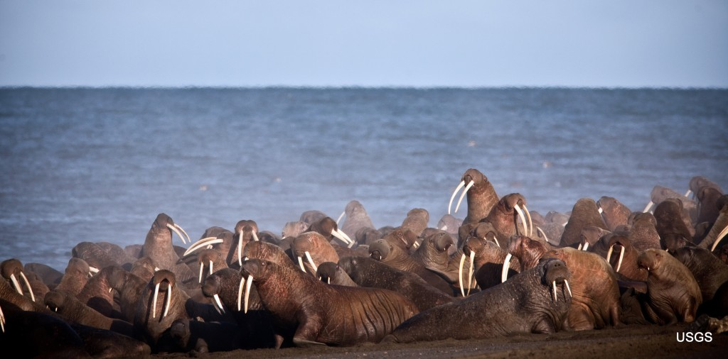 FILE - In this Sept. 2013 photo provided by the United States Geological Survey, Pacific walruses gather to rest on the shores of the Chukchi Sea near