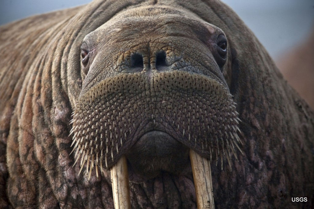 This photo provided by the United States Geological Survey shows a female Pacific walrus resting, Sept. 19, 2013 in Point Lay, Alaska. A lawsuit makin