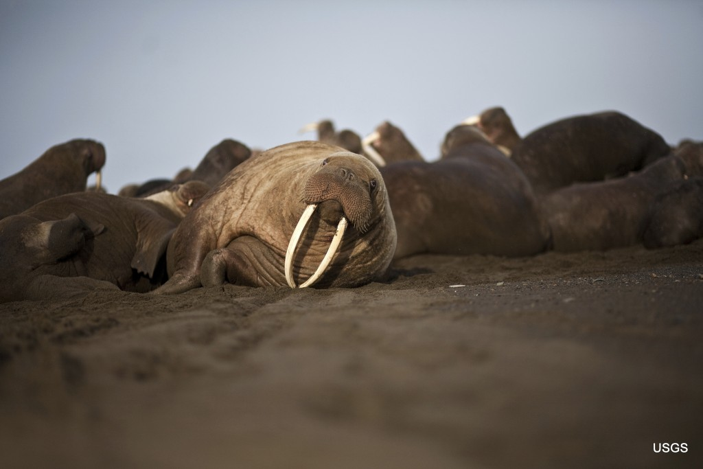 This photo provided by the United States Geological Survey shows a female Pacific walrus resting, Sept. 19, 2013 in Point Lay, Alaska.  A lawsuit maki
