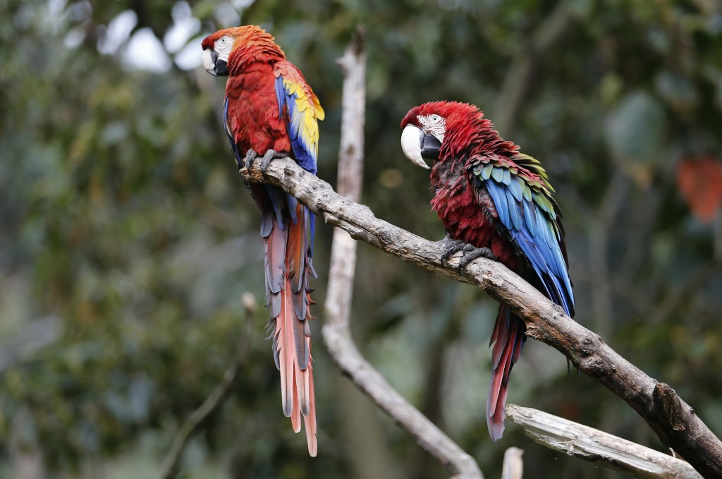 "I this Oct. 4, 2018 photo, two scarlet macaws sit on a branch at the Biopark ""La Reserva"" in Cota, Colombia. The macaws where being sold at a market w"