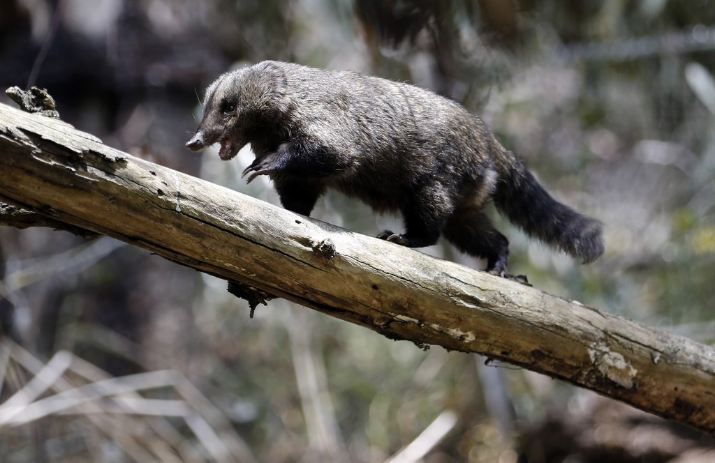 "In this Oct. 4, 2018 photo, a Coati walks on a trunk at he Biopark ""La Reserva"" in Cota, Colombia. The Coati was rescue by Colombian police and handed"