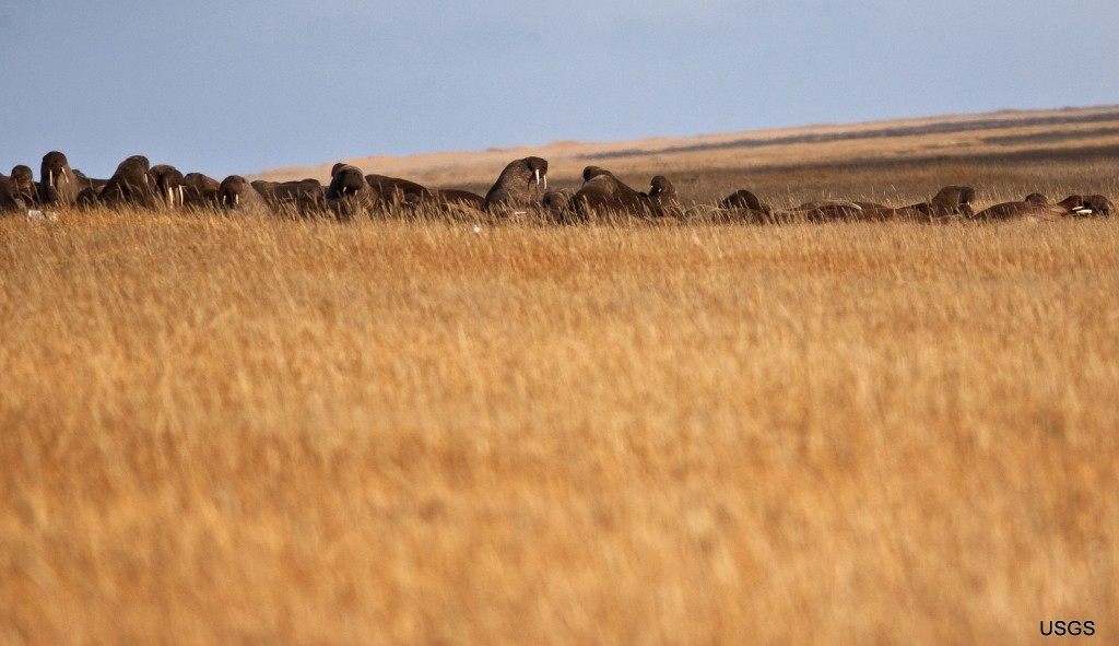 This Sept. 17, 2013 photo provided by the U.S. Geological Survey shows walruses as they clamber up on to the grassy tundra on a barrier island in Poin