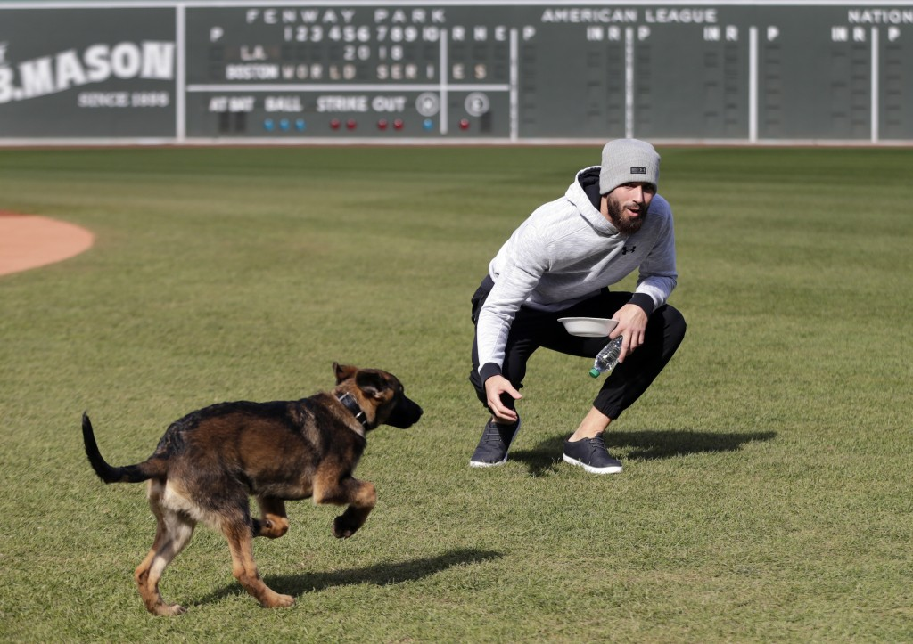 Boston Red Sox pitcher Rick Porcello plays with his four-month-old puppy, Bronco, during a baseball workout at Fenway Park, Sunday, Oct. 21, 2018, in ...