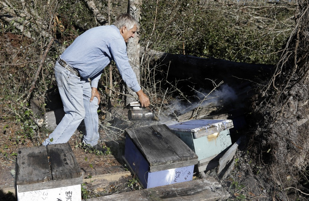 In this Friday Oct. 12, 2018 photo, Ben Lanier uses smoke to calm down bees near a hive after a tree was knocked down by winds from Hurricane Michael ...