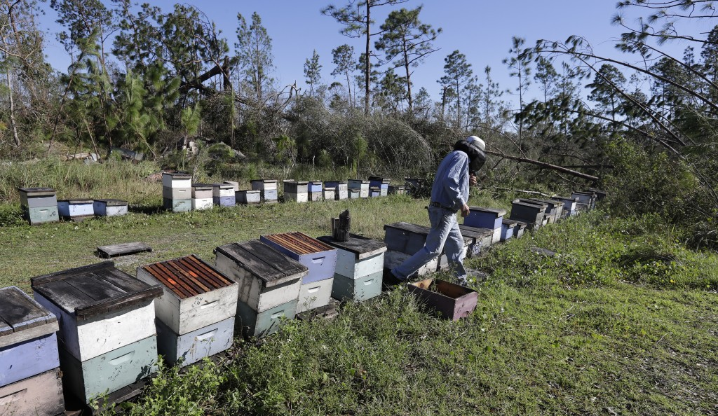In this Friday Oct. 12, 2018 photo, Ben Lanier walks between beehives after trees were knocked down by winds from Hurricane Michael in Wewahitchka, Fl...
