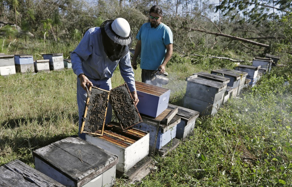 In this Friday Oct. 12, 2018 photo, Ben Lanier, left, and Justin Sours inspect a beehive after several trees were knocked down by winds from Hurricane