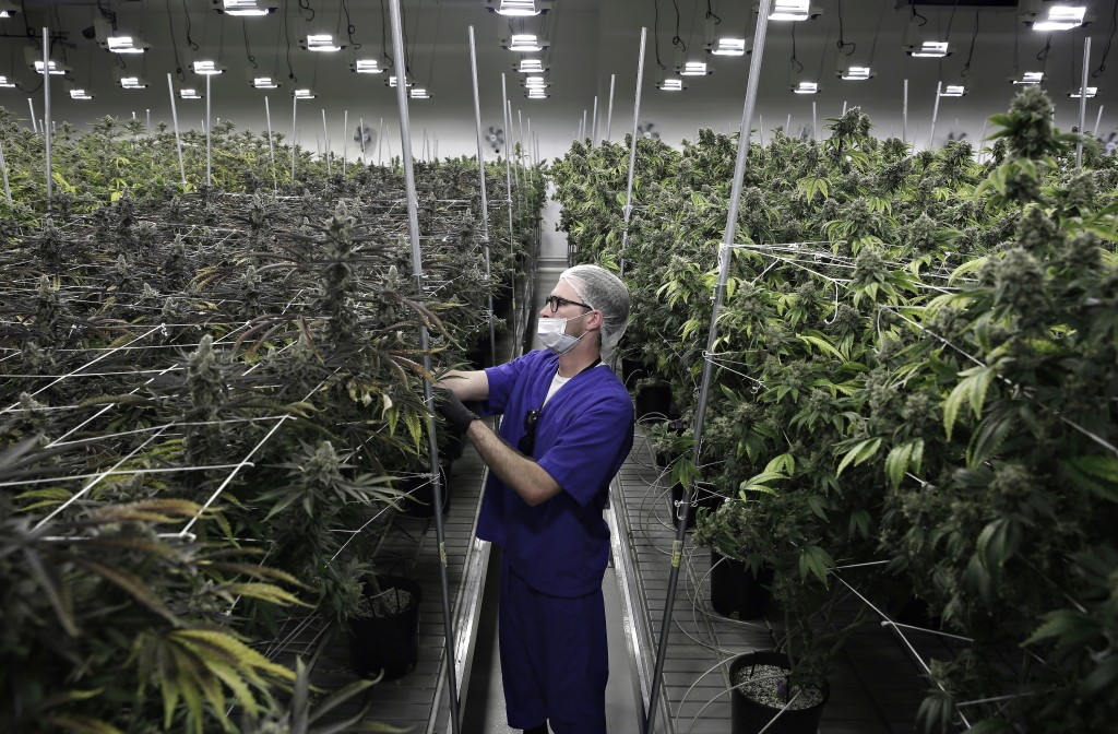 FILE - In this June 28, 2017, file photo, Alessandro Cesario, the director of cultivation, works with marijuana plants at the Desert Grown Farms culti...