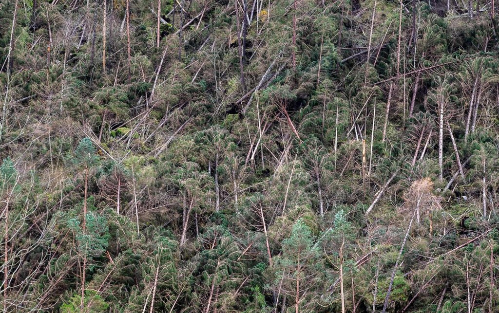 Fallen trees by the hundreds caused by severe bad weather in recent days in the forest near Belluno, Veneto Region, northern Italy, are seen Saturday,...