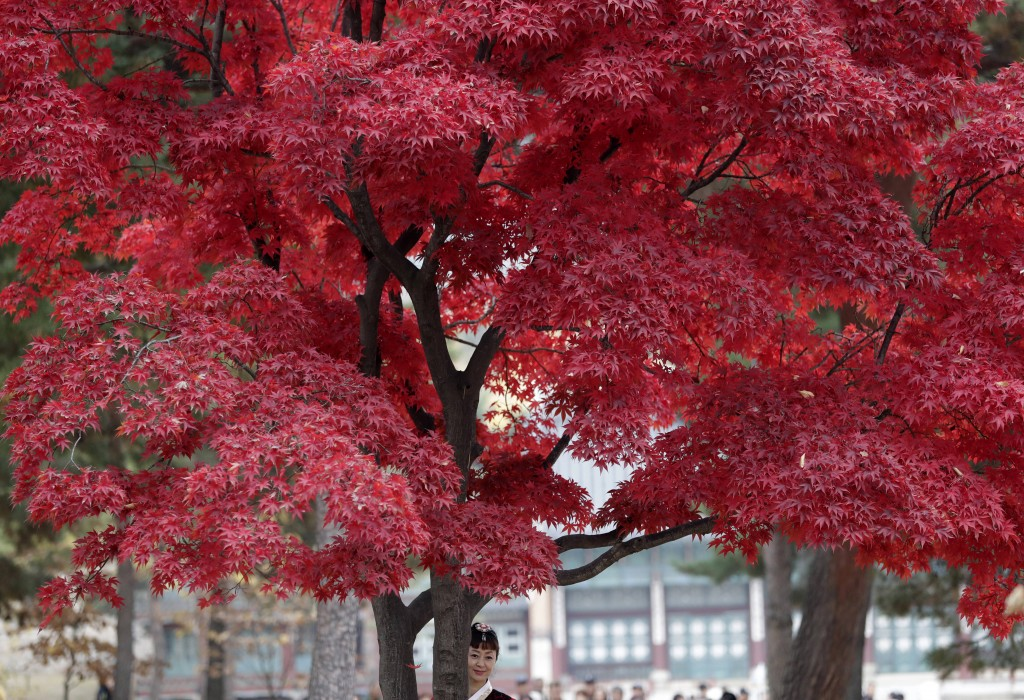 In this Wednesday, Nov. 7, 2018, file photo, a woman stands for souvenir photo under leaves in autumn color at the Gyeongbok Palace, the main royal pa