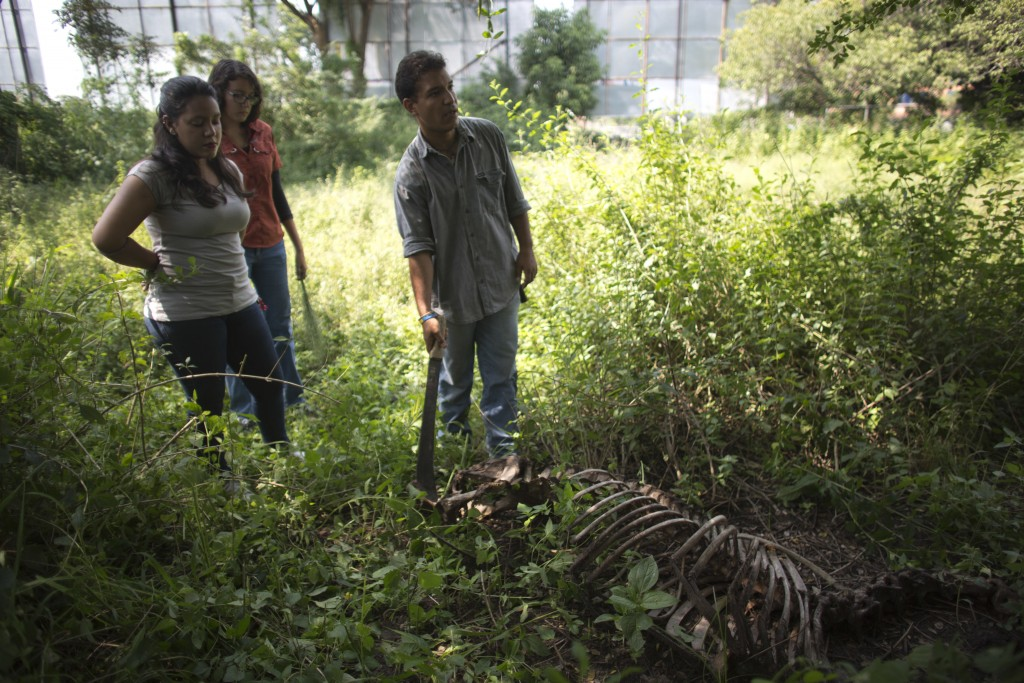 In this Oct 26, 2018 photo, Rafael Toro, a student at Venezuela's top veterinary school points with a machete the skeleton of a horse called Miss Cong