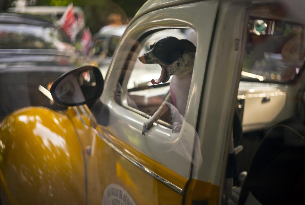 In this Nov. 4, 2018 photo, a dog yawns in the cab of a vintage 1938 Ford, currently being used as a taxi, as it sits parked before the XIV rally of a