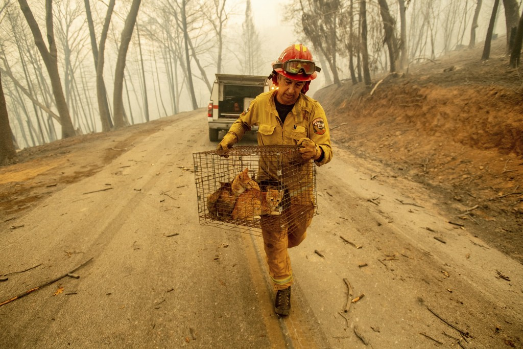 Capt. Steve Millosovich carries a cage of cats while battling the Camp Fire in Big Bend, Calif., on Friday, Nov. 9, 2018. Millosovich said the cage fe