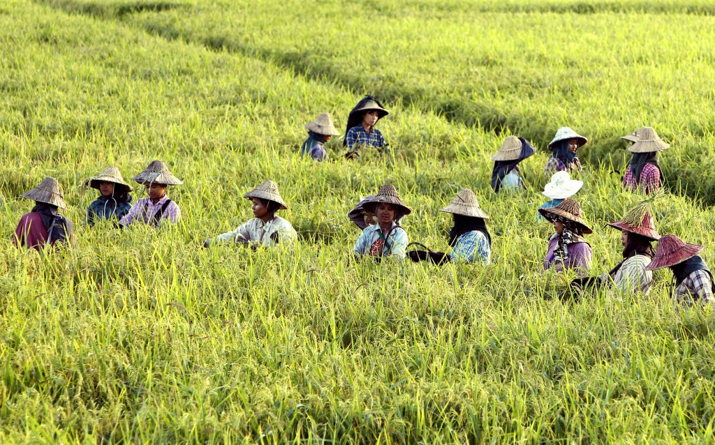 In this Wednesday, Nov. 14, 2018, file photo, farmers tend paddy fields just a few weeks ahead of harvesting in Naypyidaw, Myanmar. (AP Photo/Aung Shi...