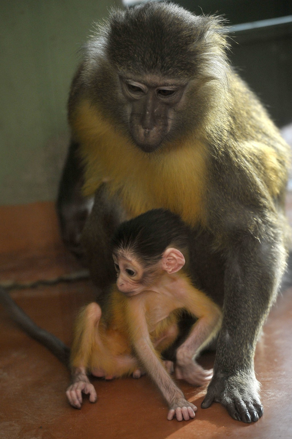 Friday, November 9, 2018 photo, a golden-bellied mangabey with her newborn cub at their enclosure in the Budapest Zoo, Hungary. The baby monkey was bo
