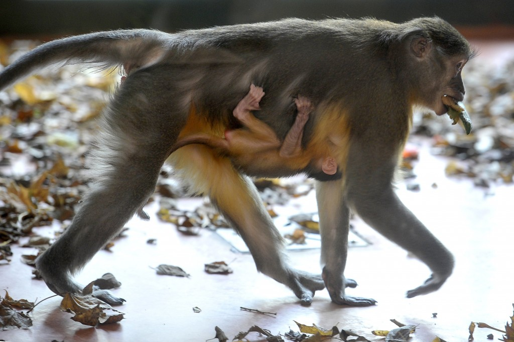 In this Friday, November 9, 2018 photo, a golden-bellied mangabey with her newborn cub at their enclosure in the Budapest Zoo, Hungary. The baby monke...
