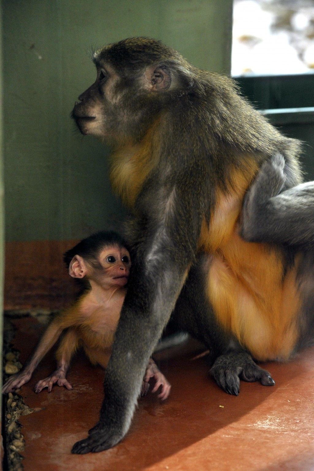 Friday, November 9, 2018 photo, a golden-bellied mangabey with her newborn cub at their enclosure in the Budapest Zoo, Hungary. The baby monkey was bo...