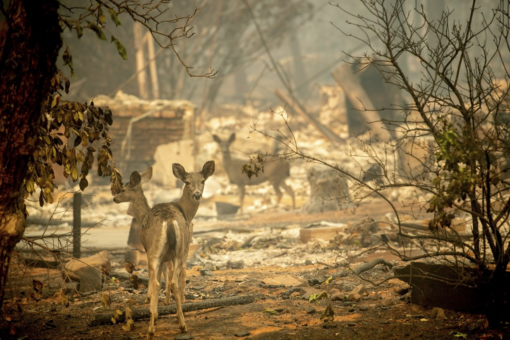 FILE - In this Saturday, Nov. 10, 2018 file photo a deer walks past a destroyed home on Orrin Lane after the wildfire burned through Paradise, Calif.