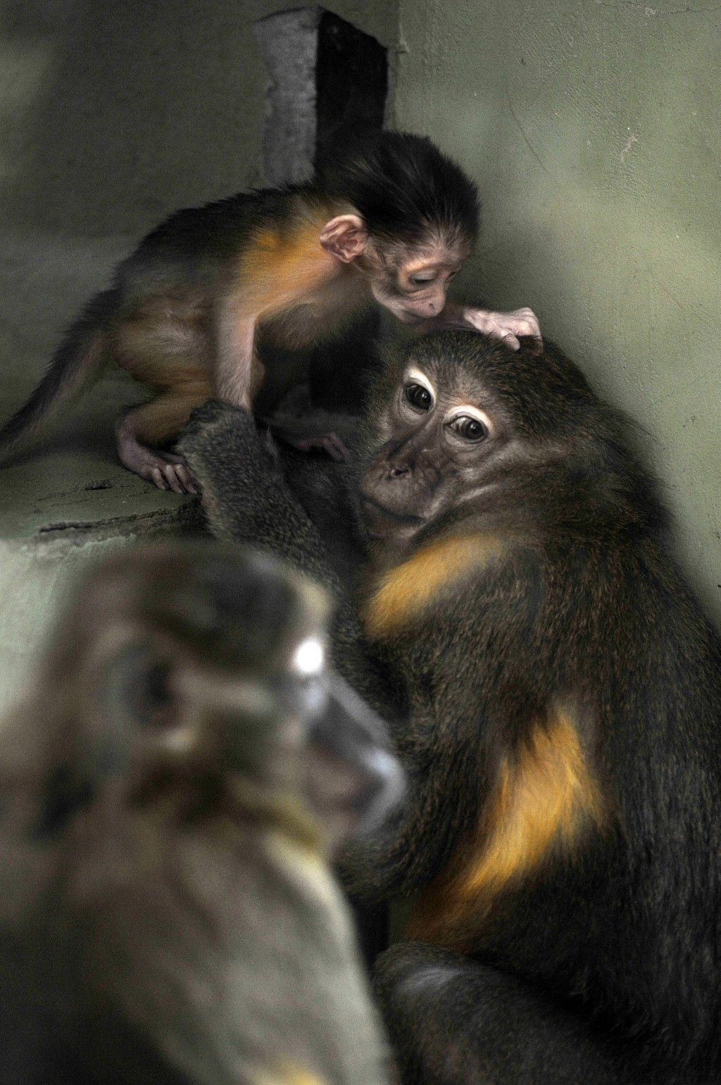 Friday, November 9, 2018 photo, a golden-bellied mangabey with her newborn cub at their enclosure in the Budapest Zoo, Hungary.. The baby monkey was b...