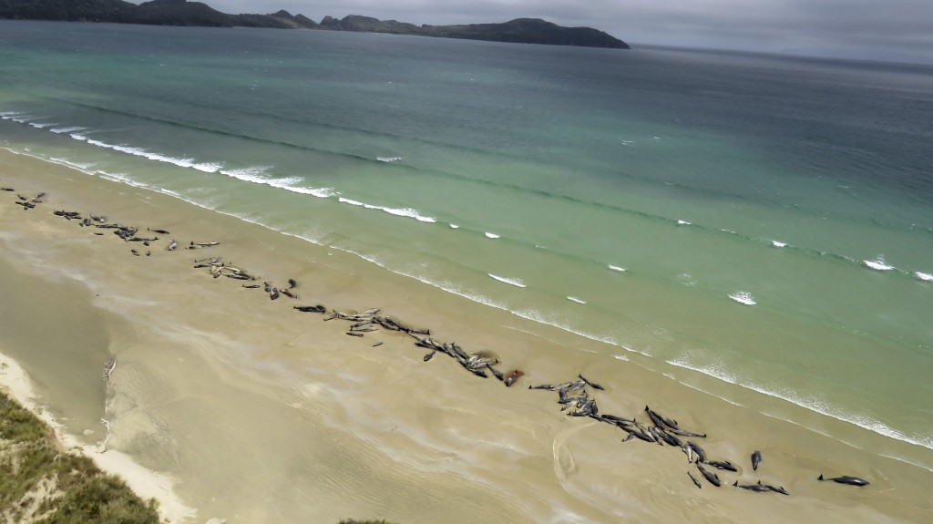 In this Sunday, Nov. 25, 2018 photo, pilot whales lie beached at Mason Bay, Rakiura on Stewart Island, New Zealand. As many as 145 pilot whales have d