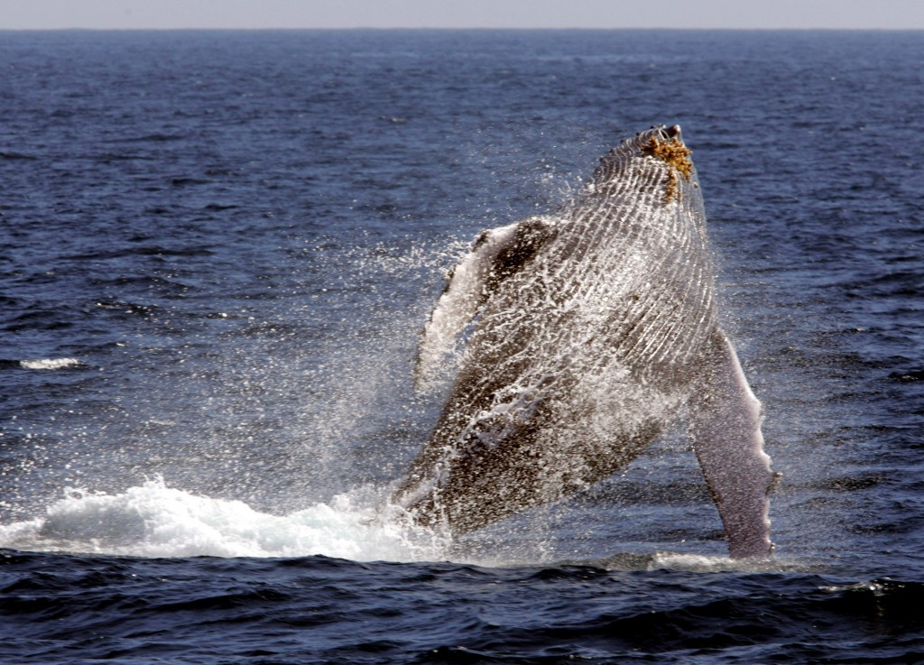 """File - In this Jan. 23, 2005 file photo, a whale leaps out of the water in what is called """"breaching,"""" as seen from a whale watching boat operated by"""