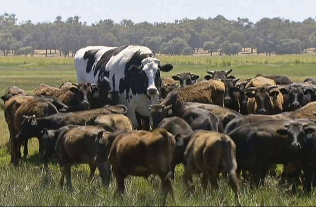 In this image made from video taken Nov. 15, 2018, Knickers the steer, center back, is in paddock with cow herd in Lake Preston, Australia.  A enormou