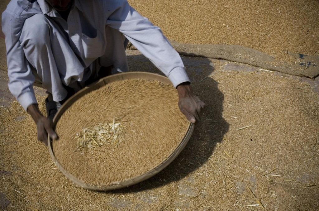 FILE - In this May 5, 2008 file photo, a Pakistani laborer sieves the wheat during the wheat harvest on the outskirt of Lahore, Pakistan. A U.N. Food ...