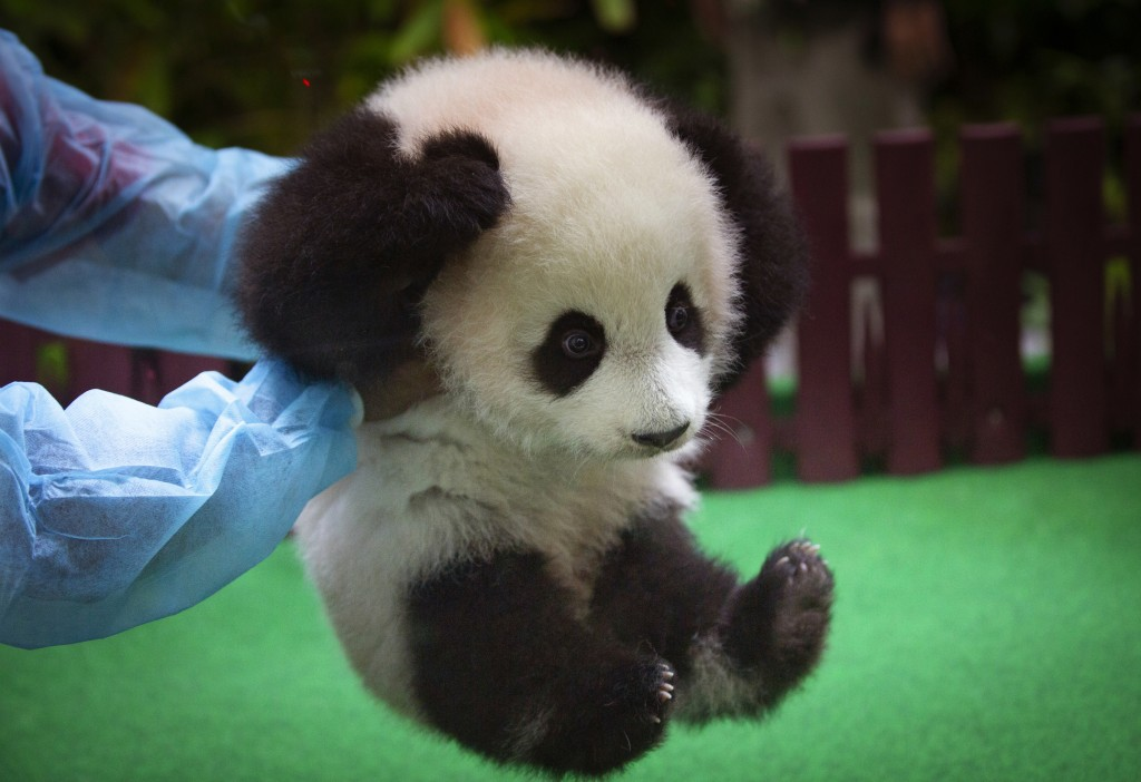 A zoo worker plays with a 5-month-old panda at the Malaysia Zoo in Kuala Lumpur, Malaysia, on May 26, 2018. The female panda, which has not yet been n...