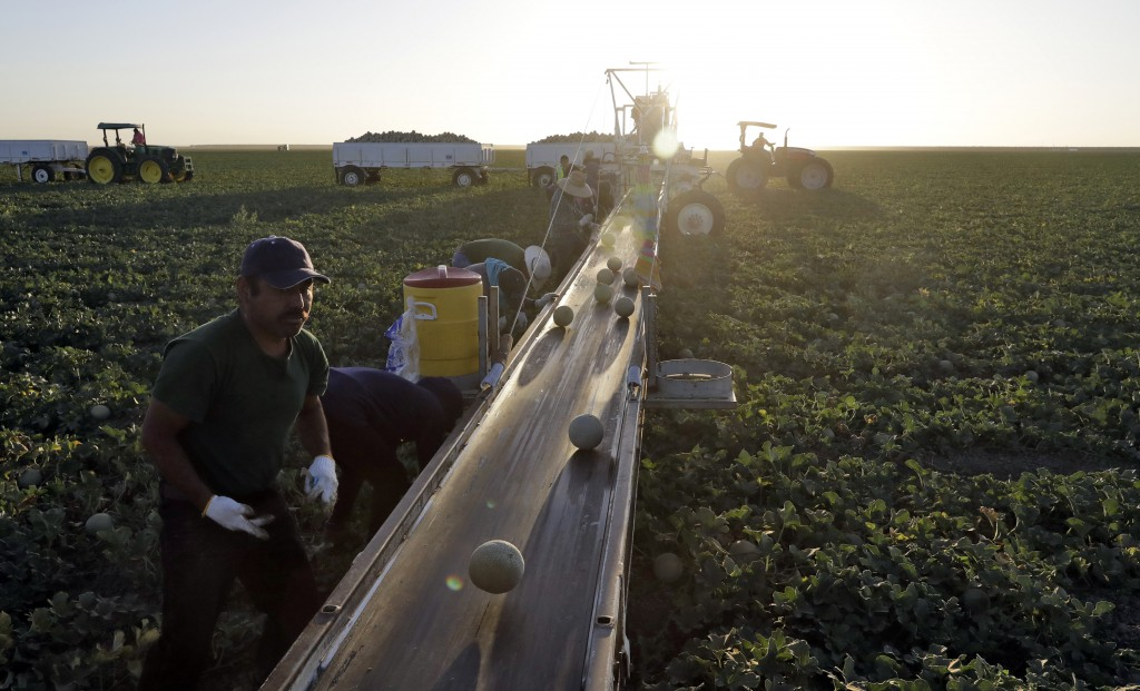 FILE- In this Sept. 18, 2018, file photo, farmworkers pick melons in the early morning hours in Huron, Calif. On Thursday, Dec. 6, the Labor Departmen
