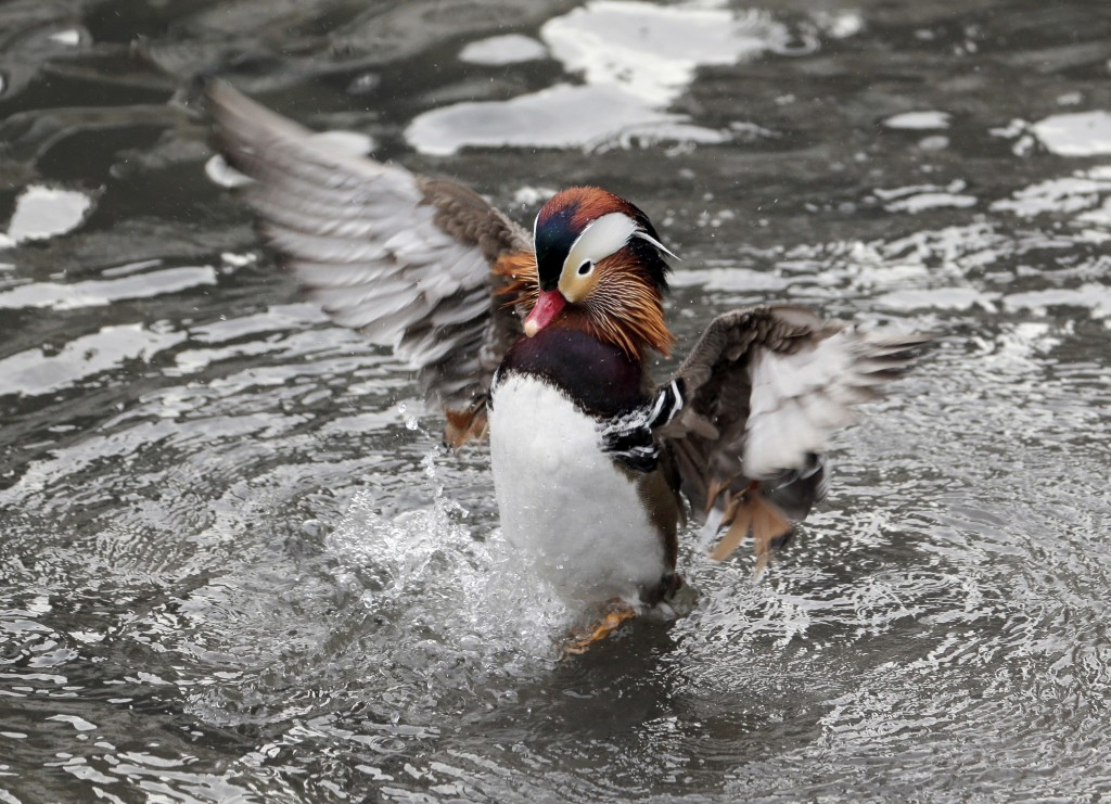 A Mandarin duck flutters in Central Park in New York, Wednesday, Dec. 5, 2018. In the weeks since it appeared in Central Park, the duck has become a c