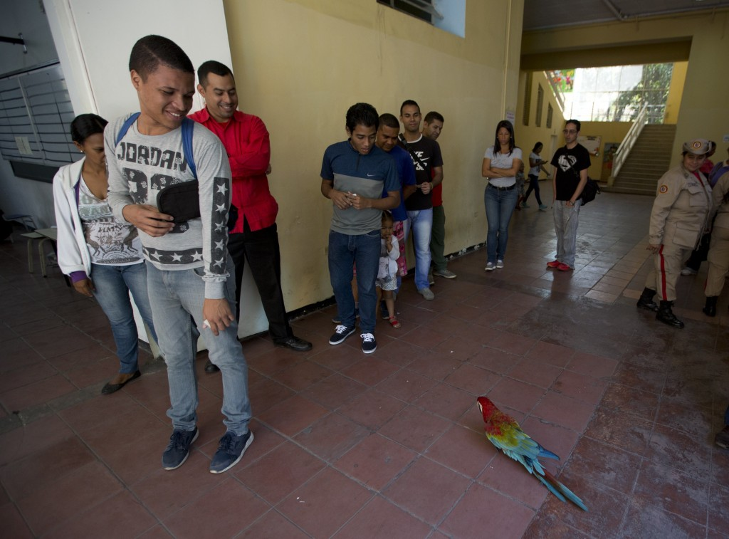 Voters look at a parrot walking around a school serving as a voting station during local elections in Caracas, Venezuela, Sunday, Dec. 9, 2018. The pa...