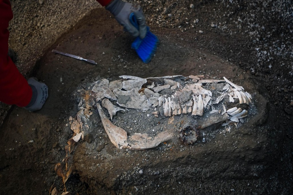 An archaeologist inspects the remains of a horse skeleton in the Pompeii archaeological site, Italy, Sunday, Dec. 23, 2018. A tall horse, well-groomed